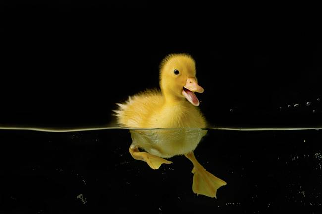 The-Adorable-Friendship-Between-A-Swimmer-And-Her-Duckling-06