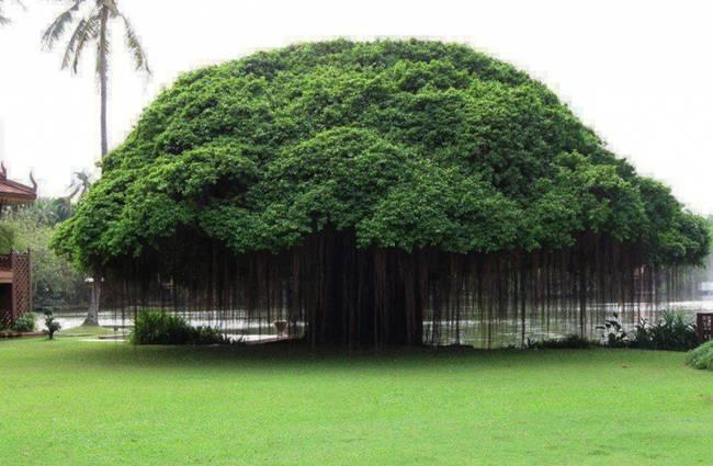 Ficus, Philippines