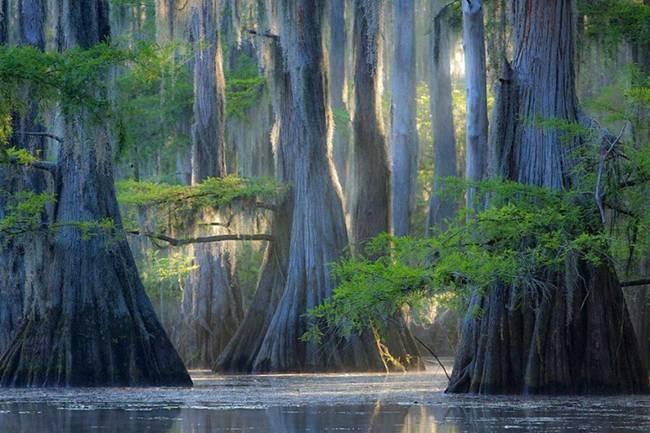 Cypresses, Caddo Lake