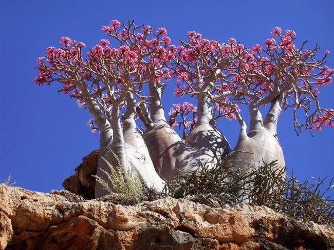 Bottle trees on the island of Socotra