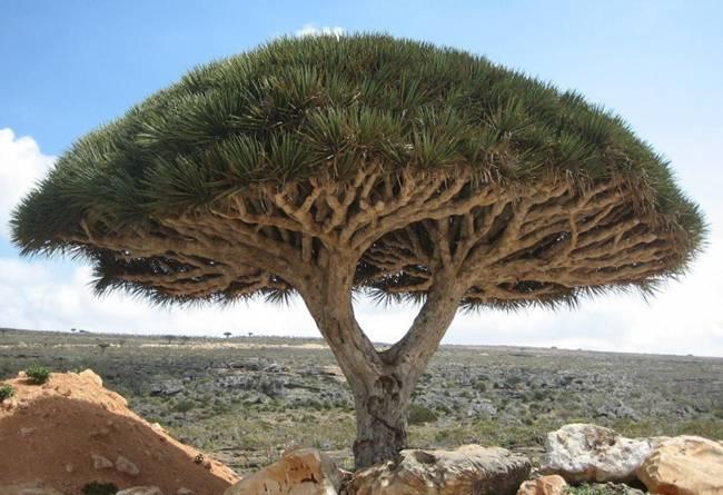 Dragon tree, Socotra