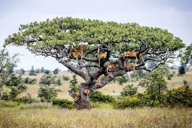 15 Big Cats on th branches of a sturdy tree in Central Serengeti, Tanzania