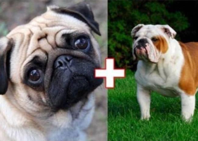2. Pug + English Bulldog