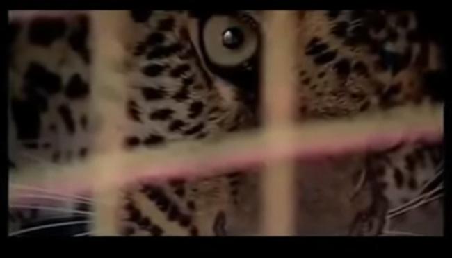 Never Poke a Leopard, Dramatic Leopard Attack