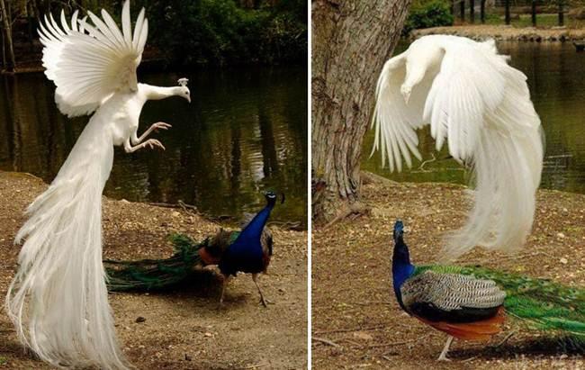Rare and beautiful photos of Peacocks