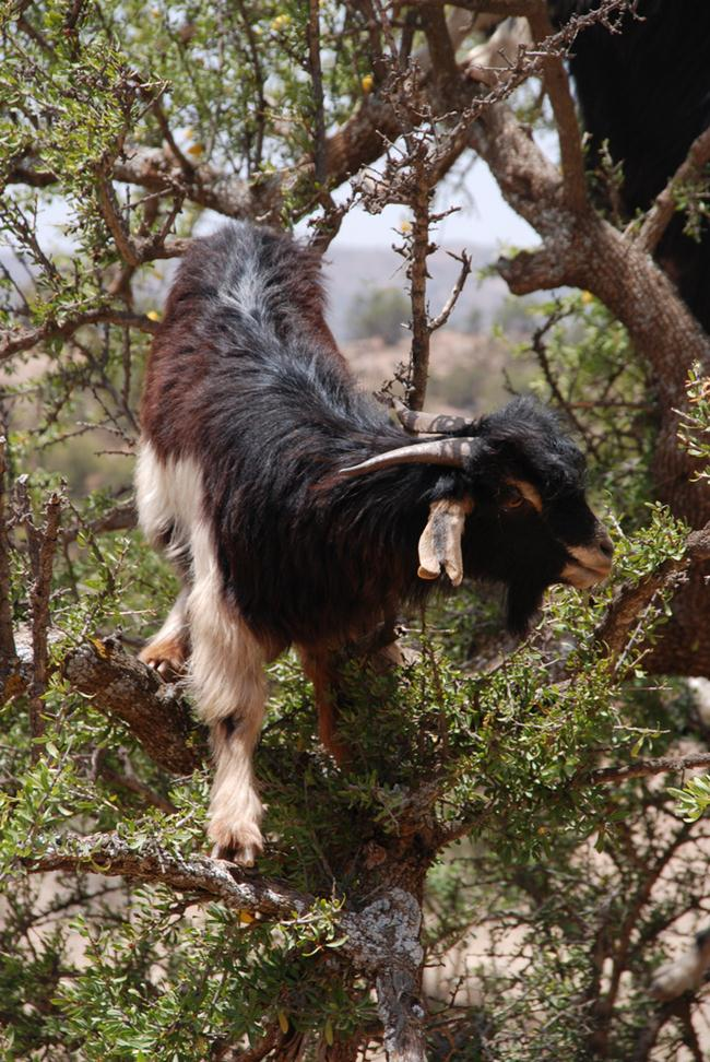 Tree Goats of Morocco