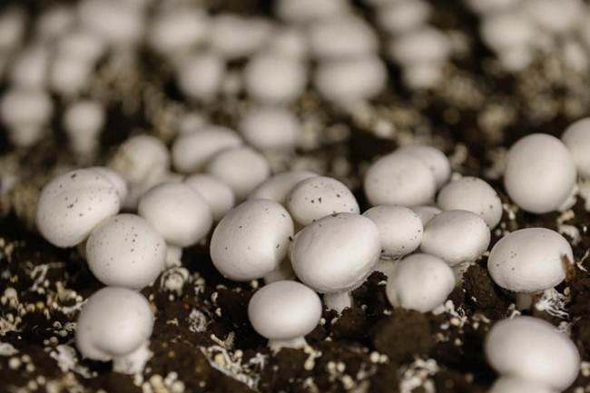 How to grow mushrooms in Canada