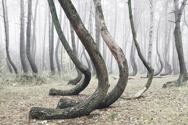 A Mystical Forest Of 400 Crooked Trees Growing In Poland