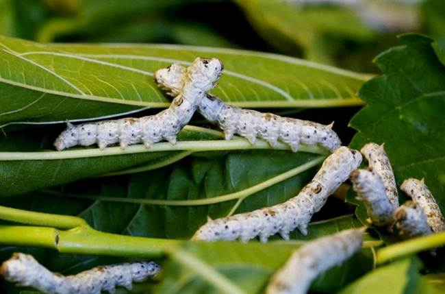 Padua center is home to about 200 different species of silkworms