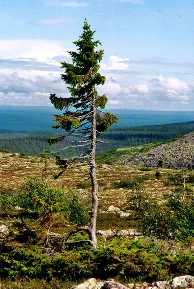 The oldest tree in the world is in Sweden and has 9500 years