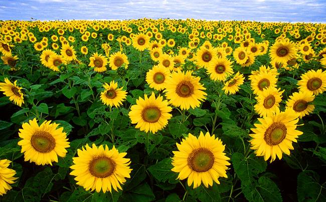 Biologists explain why sunflowers turn to the Sun
