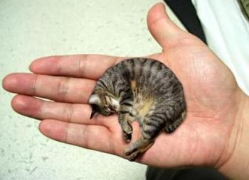 smallest cat in the world guinness 2013
