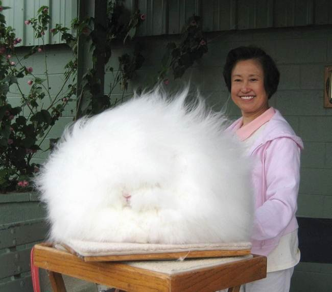 Angora Rabbit - The Fluffy Bunny in the World