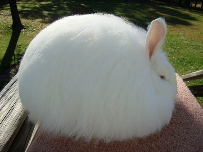 angora-rabbit-the-fluffy-breed-in-the-world-002