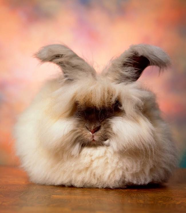 angora-rabbit-the-fluffy-breed-in-the-world-004