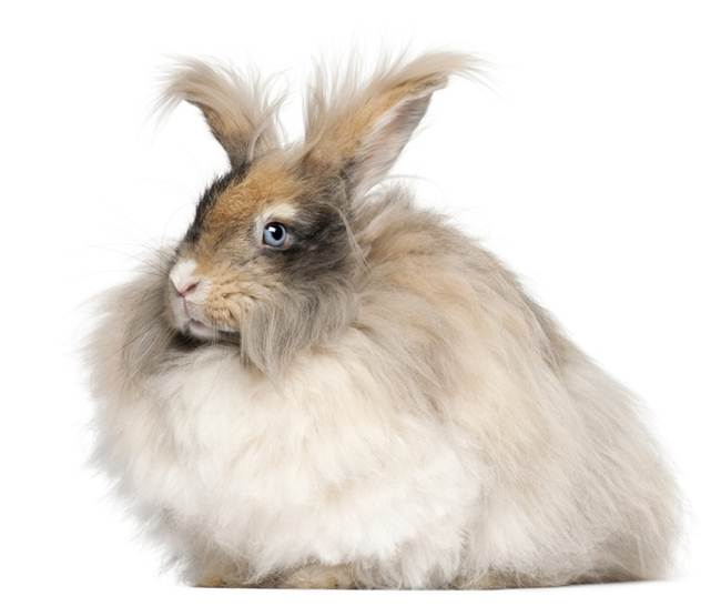 angora-rabbit-the-fluffy-breed-in-the-world-005