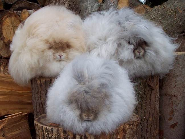 angora-rabbit-the-fluffy-breed-in-the-world-006