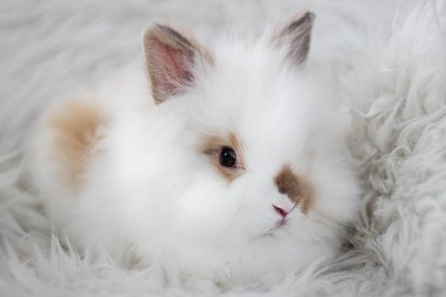 angora-rabbit-the-fluffy-breed-in-the-world-007
