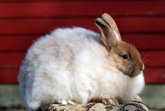 angora-rabbit-the-fluffy-breed-in-the-world-009
