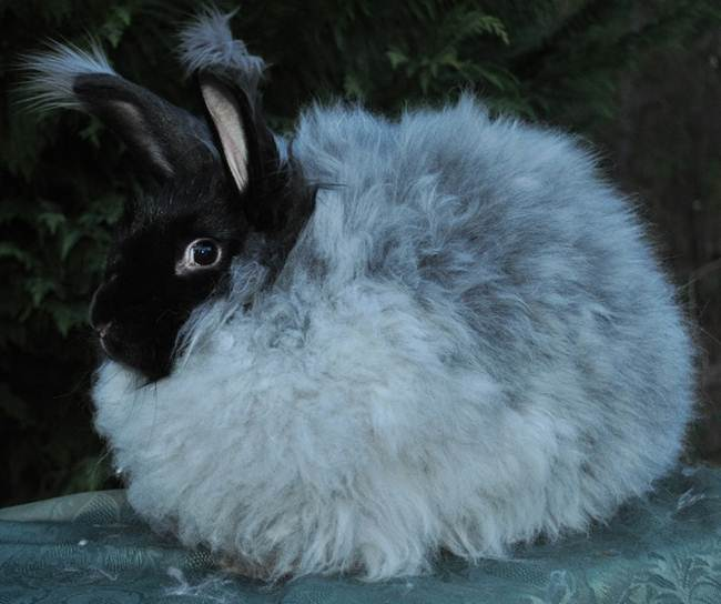 angora-rabbit-the-fluffy-breed-in-the-world-010