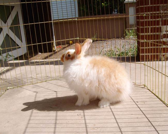 angora-rabbit-the-fluffy-breed-in-the-world-011
