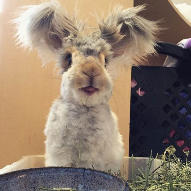 angora-rabbit-the-fluffy-breed-in-the-world-013