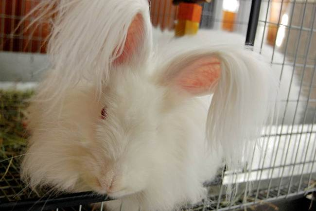 angora-rabbit-the-fluffy-breed-in-the-world-016