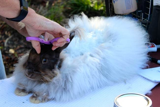 angora-rabbit-the-fluffy-breed-in-the-world-017