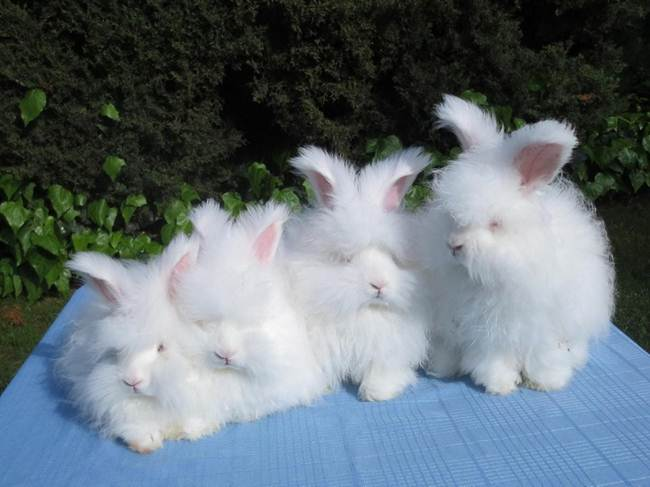 angora-rabbit-the-fluffy-breed-in-the-world-022