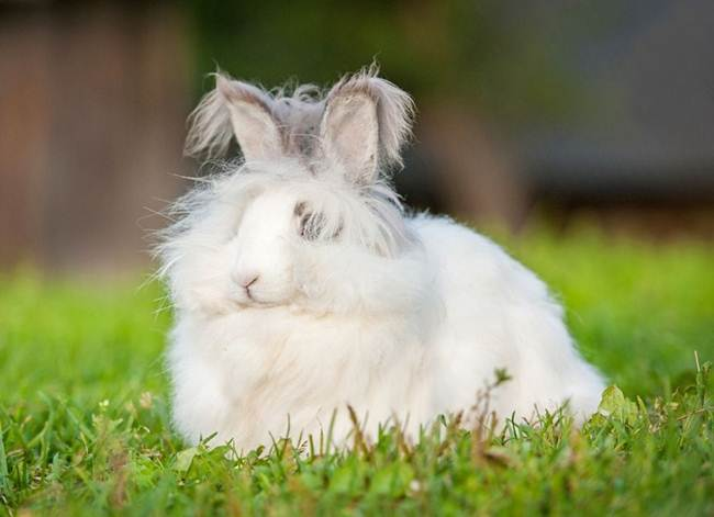 angora-rabbit-the-fluffy-breed-in-the-world-023