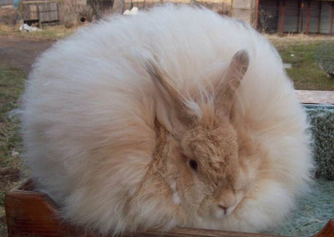 angora-rabbit-the-fluffy-breed-in-the-world-025