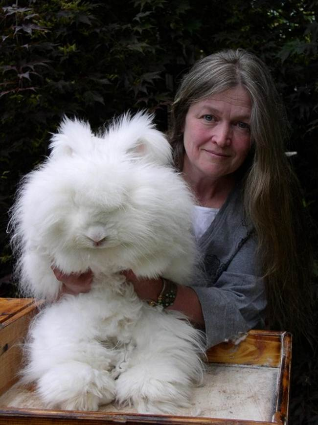 angora-rabbit-the-fluffy-breed-in-the-world-026