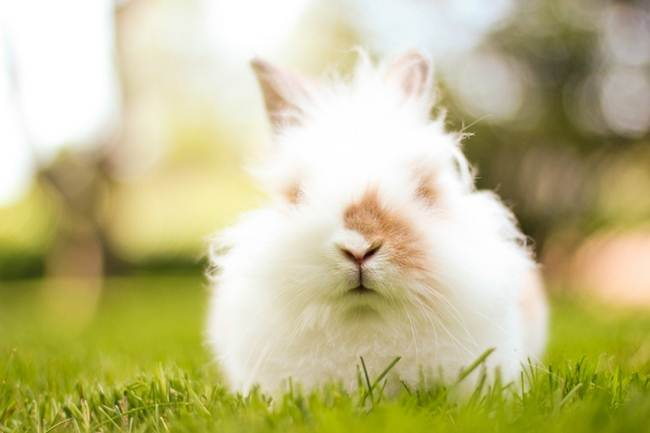 angora-rabbit-the-fluffy-breed-in-the-world-027