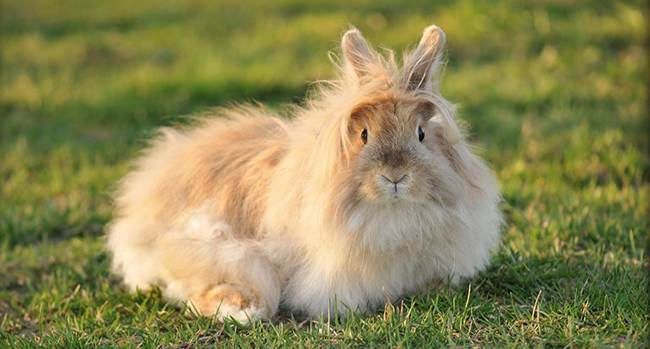 angora-rabbit-the-fluffy-breed-in-the-world-028
