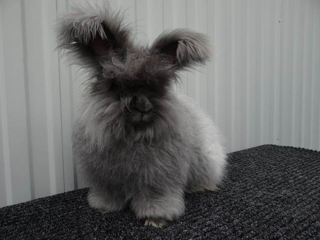 angora-rabbit-the-fluffy-breed-in-the-world-029