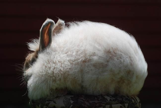 angora-rabbit-the-fluffy-breed-in-the-world-031