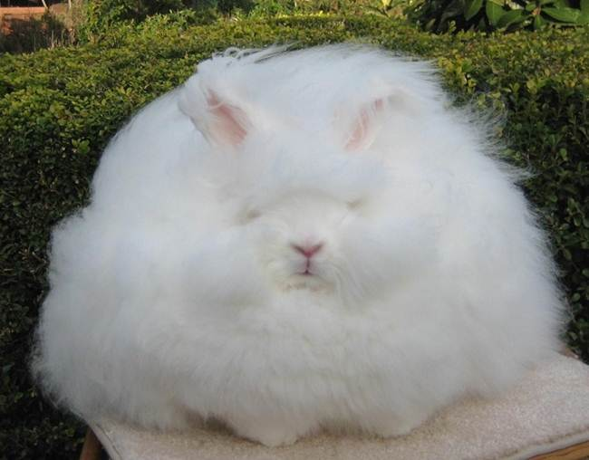 angora-rabbit-the-fluffy-breed-in-the-world-032