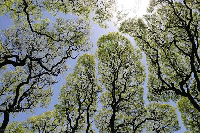 Crown Shyness, The particular phenomenon of shy trees