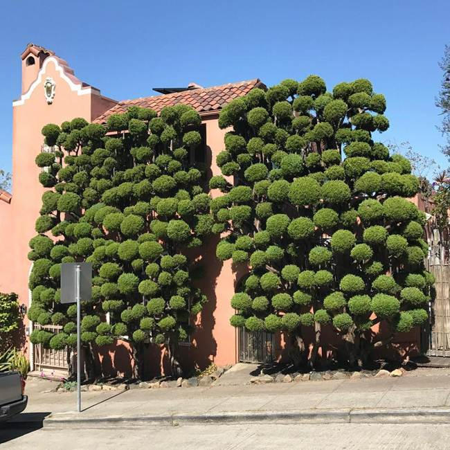 Topiary Trees of San Francisco by Kelsey McClellan