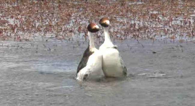 hooded-grebe-mating-dance-02