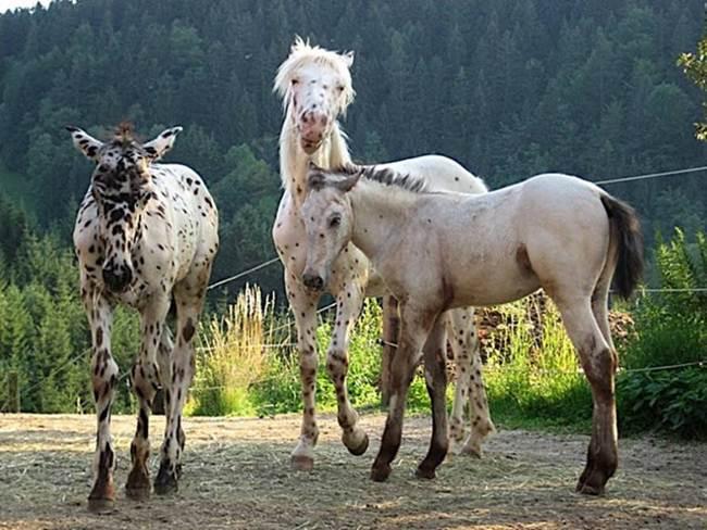 Knabstrupper-The-Spitting-Print-Horse-004