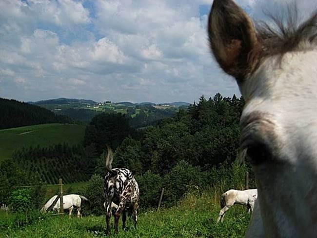 Knabstrupper-The-Spitting-Print-Horse-006