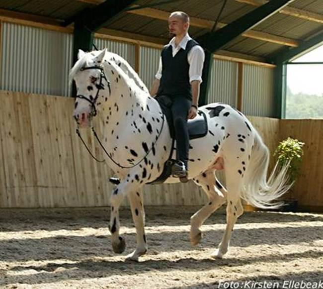 Knabstrupper-The-Spitting-Print-Horse-008