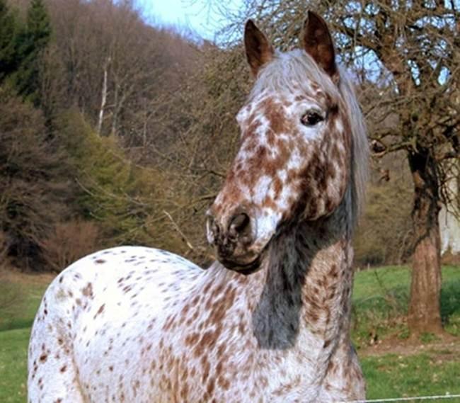 Knabstrupper-The-Spitting-Print-Horse-010