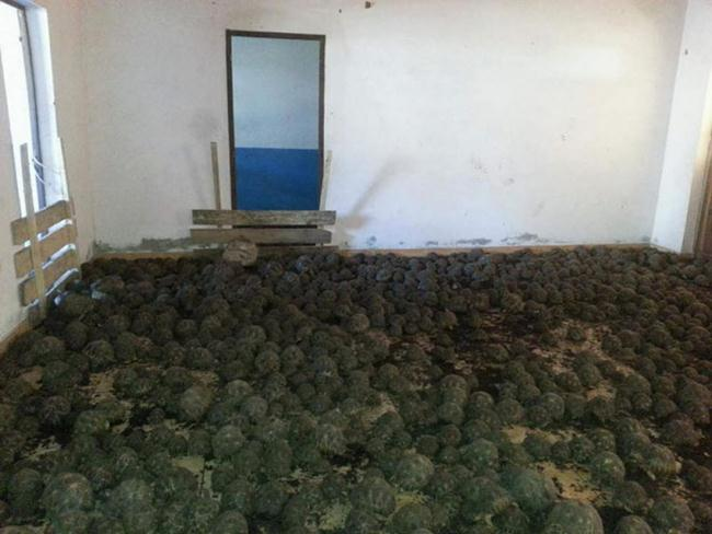 10000-rare-turtles-found-in-a-two-story-house-in-Madagascar-gudsol-003