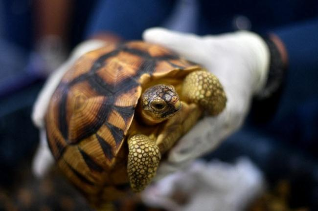 10000-rare-turtles-found-in-a-two-story-house-in-Madagascar-gudsol-007