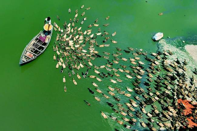 Aerial-Footage-of-Hundreds-of-Ducks-Gudsol-002