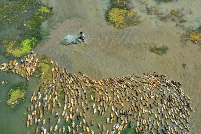 Aerial-Footage-of-Hundreds-of-Ducks-Gudsol-006