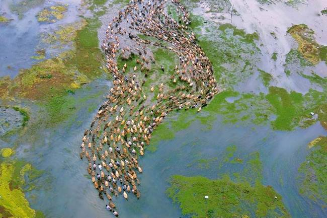 Aerial-Footage-of-Hundreds-of-Ducks-Gudsol-007