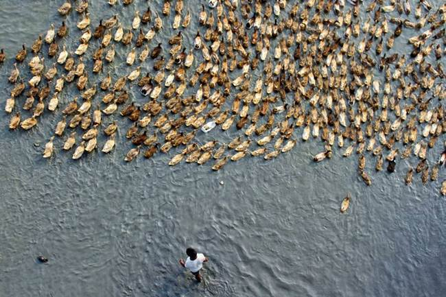 Aerial-Footage-of-Hundreds-of-Ducks-Gudsol-008